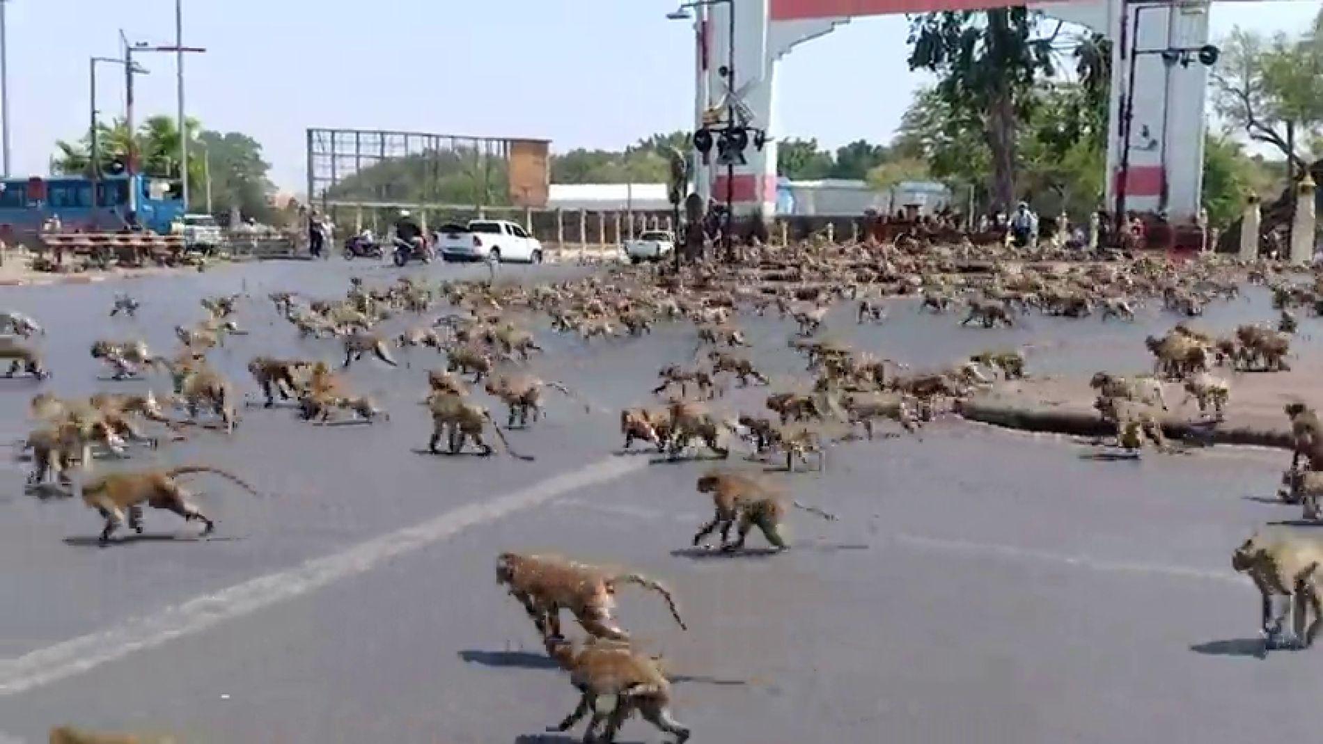 VÍDEO: El coronavirus hace que decenas de monos tailandeses se peleen por un plátano