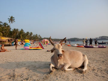 No, la playa no es el hábitat natural de las vacas.