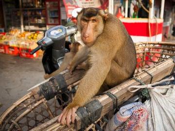 Un simio de Sumatra (Indonesia)