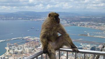 ¿Entenderán los monos el spanglish de Gibraltar?
