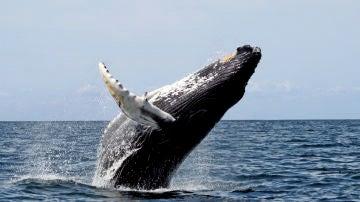 La ballena jorobada es el animal acusticamente mas complejo