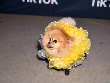 Un perro disfrazado en una fiesta de TikTok