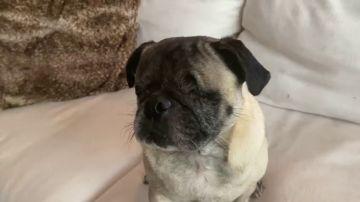 VÍDEO: Alan, el perrito sin ojos que se desenvuelve sin problemas y nos mata de amor