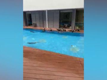 Una familia de nutrias se cuela en una piscina privada y se lo pasan en grande
